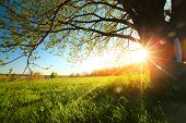 stock photo of greenery  - Tree on a green meadow at sunset - JPG