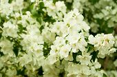 stock photo of jasmine  - Jasmine flower growing on the bush in  garden - JPG