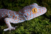 picture of tokay gecko  - A baby tokay gecko is sitting on moss - JPG