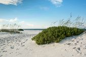 picture of sea oats  - Sand dunes sea oats and beach rosemary on a pristine Florida beach - JPG