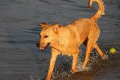 Cross Breed Dog Exits the Water