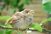 In The Garden, Sitting On A Branch Of A Small Nestling Sparrow Sings