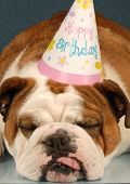 Bulldog Wearing Birthday Party Hat