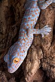 picture of tokay gecko  - A baby tokay gecko is crawling down a tree - JPG