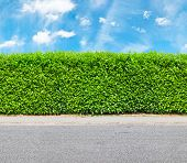 Tall Hedge With The Part Of The Gravel Road