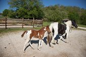 stock photo of pinto  - A pinto mare with her pinto foal - JPG