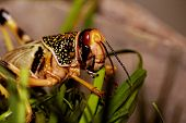 stock photo of locusts  - one locust eating the grass in the nature - JPG