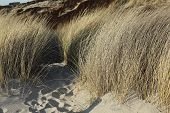 Beach Grass In The Dunes Of Sylt In Evening Light