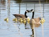 Family Of Geese In Spring.