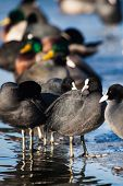 Flock Of Coots ( Fulica Atra ) Walking On Frozen Surface Of The Lake.