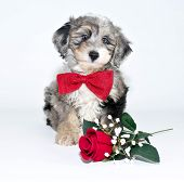 foto of dog-rose  - A sweet little puppy wearing a bow tie sitting with a single red rose - JPG
