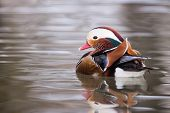 Mandarin Duck On Water