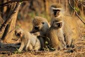 Vervet monkeys (Cercopithecus aethiops) grooming one another, South Africa