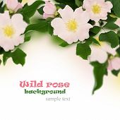 image of wild-brier  - Pink flowers of wild rose on white background - JPG