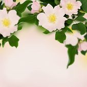 picture of wild-brier  - Pink flowers of wild rose on pink background - JPG