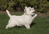 picture of west highland white terrier  - Cute West Highland White Terrier puppy giving his paw - JPG