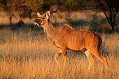 Kudu antelope (Tragelaphus strepsiceros) in early morning light, South Africa