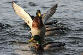 Mallard Duck Flapping Wings