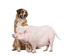 foto of pot-bellied  - Gottingen minipig and dog standing in front of white background studio shot - JPG