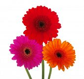 gerbera on a white background