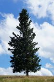 Spruce in the Black Forest