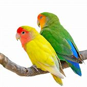 Lovebird Isolated