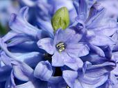 Blue hyacinthes blooming