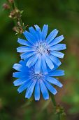 stock photo of chicory  - Two blue chicory flowers closeup with ant.