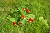 Bouquet of Wild Forest Stone Bramble  berry (Rubus saxatilis) On Green Light Background