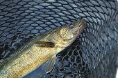 Close Up Shot Of Nice Walleye In A Fishing Net