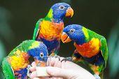 picture of lorikeets  - Rainbow Lorikeet Parrot  - JPG