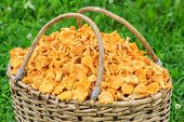 foto of willow  - Willow basket of freshly cut chanterelles close up view - JPG