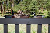 Three duck decoys on a deck railing
