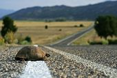 picture of carapace  - Turtle on the asphalt road in Turkey - JPG