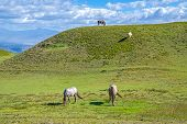 pic of horses eating  - Horses in a field eating grass and relaxing - JPG