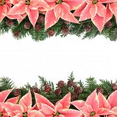 Poinsettia flower thanksgiving background border with pine cones and fir over white.