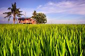 Traditional Malay Village House in Paddy field