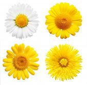 Yellow daisy flowers isolated on white background