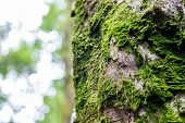 Fresh Green Moss On The Bark Of A Tree