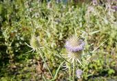 Flowering Wild Teasel From Close