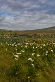 foto of arum lily  - Field with arum lilies in Darling Soth Africa - JPG