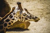 giraffa, beautiful giraffe in a zoo park