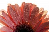 A detailed photo of a Gerbera flower.Barbeton Daisy Gerbera Flower