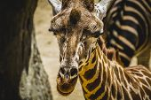 camelopardalis, beautiful giraffe in a zoo park