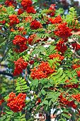 pic of mountain-ash  - Rowan berries Mountain ash  - JPG