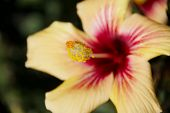 Hibiscus Closeup, Stigma - Outside