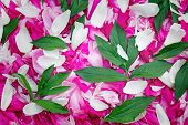 Petals Of Peonies In A Large Number, Flowers And Leaves Of Peonies, (the Background Image).