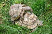 stock photo of green turtle  - Two mating turtles hidden in the tall green grass - JPG
