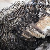 Feather Of Turkey