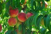 Red Delicious Peach